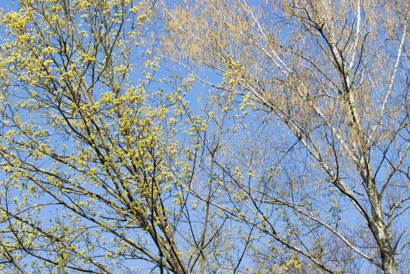 Ramas de árbol florecientes de la primavera arce y abedul con las flores en fondo del cielo azul fotografía de archivo