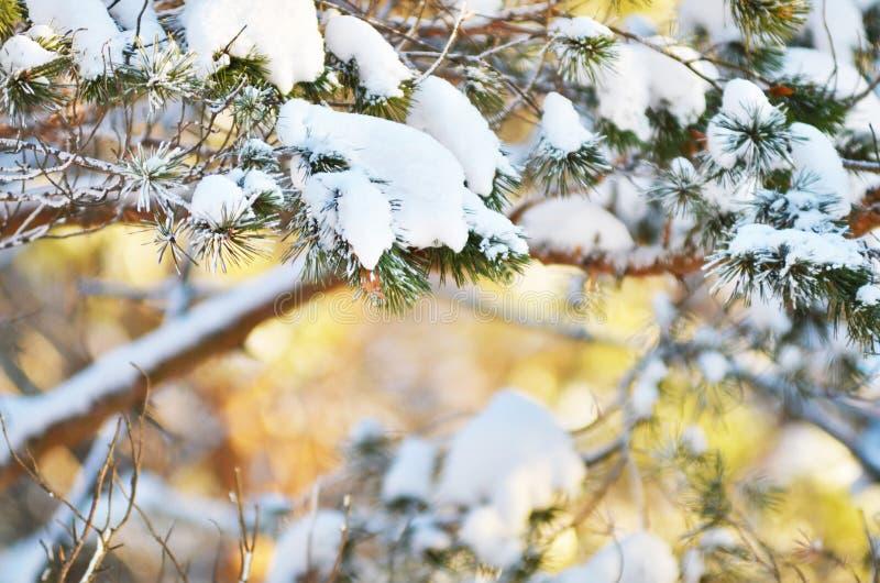 Ramas de árbol frescas de abeto del fondo del invierno cubiertas con nieve imagen de archivo libre de regalías