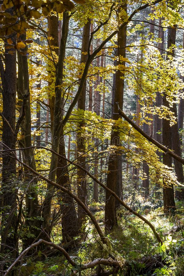 Ramas de árbol iluminadas por el sol del otoño en un bosque búlgaro mezclado denso de la montaña imagen de archivo