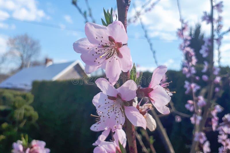 Ramas de ?rbol de melocot?n del flor con las flores rosadas hermosas en jard?n borroso fotografía de archivo libre de regalías