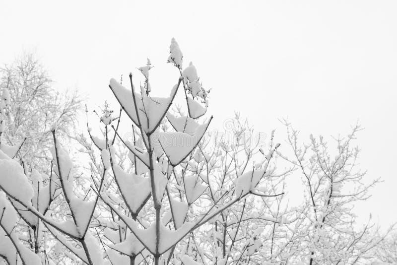 Ramas de árbol nevadas del primer y cielo blanco como fondo del invierno imagen de archivo libre de regalías
