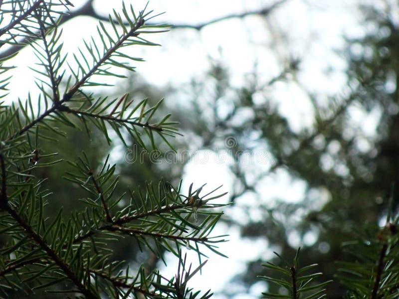 Ramas de árbol de pino imagenes de archivo