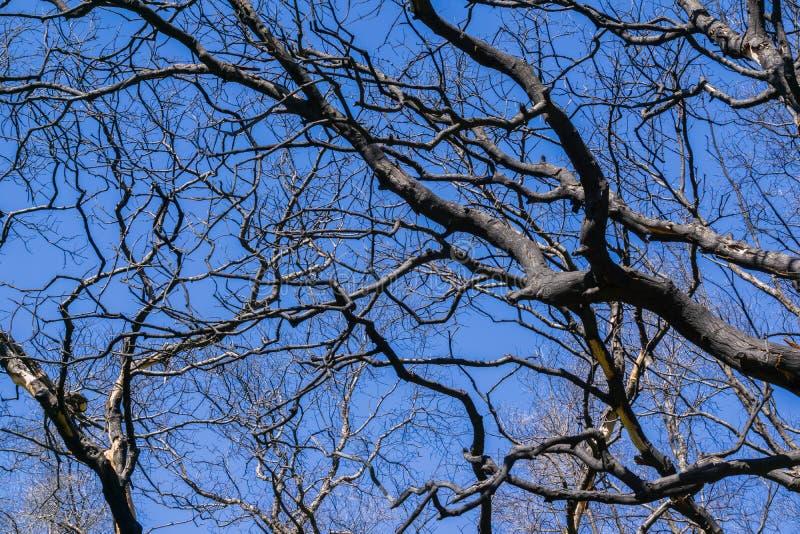 Ramas de árbol quemadas en un fondo del cielo azul, barranco frío de Stebbins, Napa Valley, California imagen de archivo libre de regalías