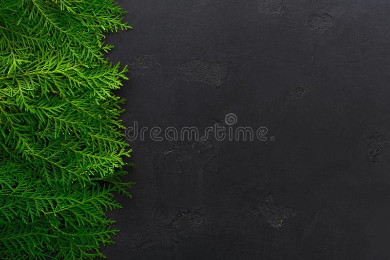 Ramas de árbol verdes del thuja en fondo negro fotografía de archivo libre de regalías