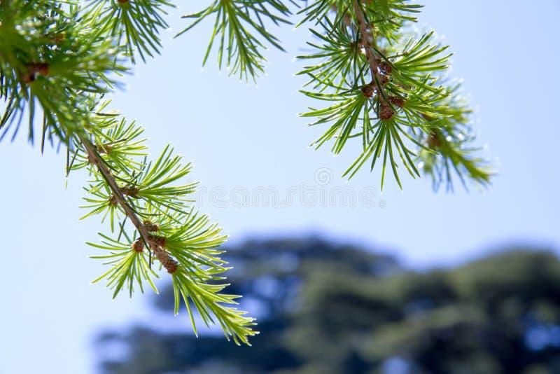 Ramas de árboles en bosque del arz en Líbano del norte foto de archivo libre de regalías
