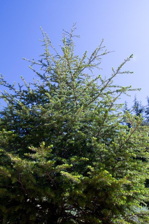Ramas de árboles en bosque del arz en Líbano del norte imagen de archivo libre de regalías