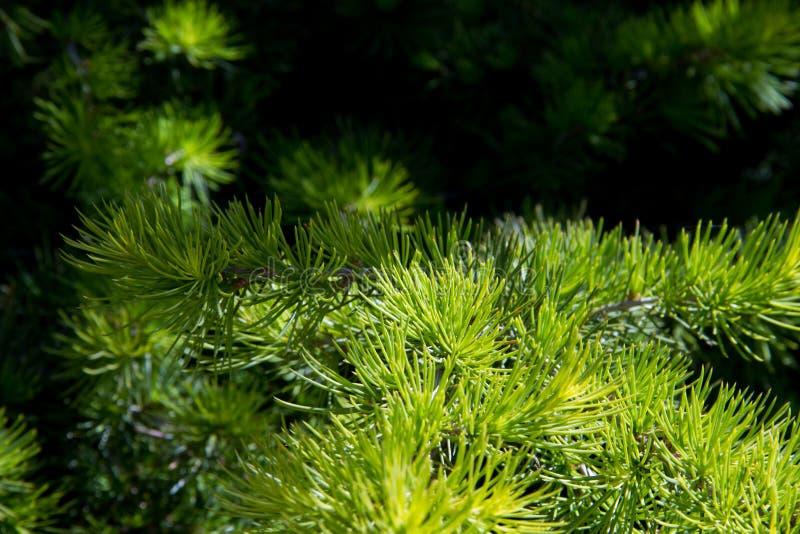 Ramas de árboles en bosque del arz en Líbano del norte imágenes de archivo libres de regalías