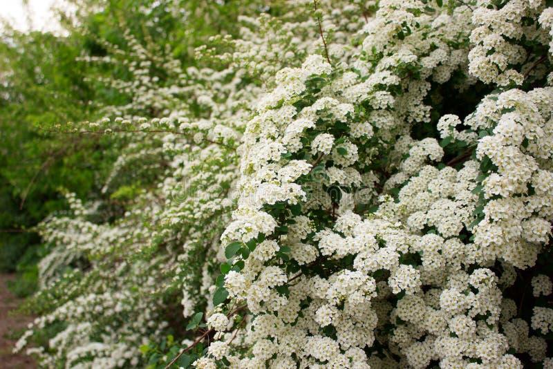 Ramas de arbustos del spiraea blanco floreciente en el parque imagenes de archivo