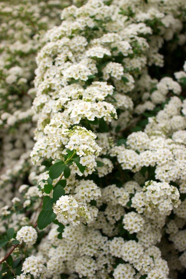 Ramas de arbustos del spiraea blanco floreciente en el parque fotografía de archivo libre de regalías