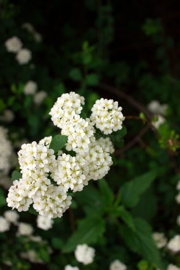 Ramas de arbustos del spiraea blanco floreciente en el parque fotografía de archivo
