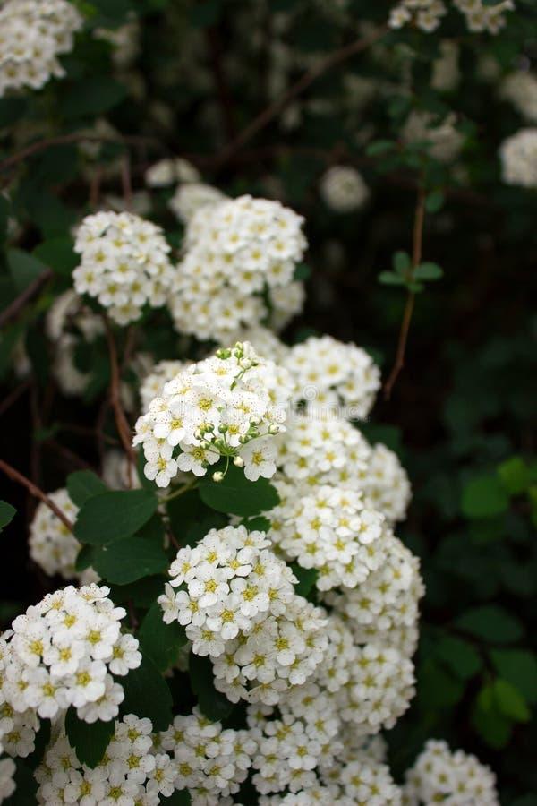 Ramas de arbustos del spiraea blanco floreciente en el parque imagen de archivo