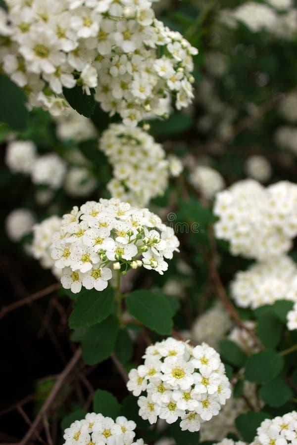 Ramas de arbustos del spiraea blanco floreciente en el parque imágenes de archivo libres de regalías