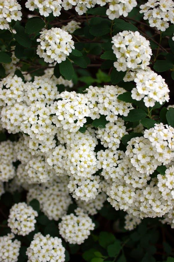 Ramas de arbustos del spiraea blanco floreciente en el parque fotos de archivo libres de regalías