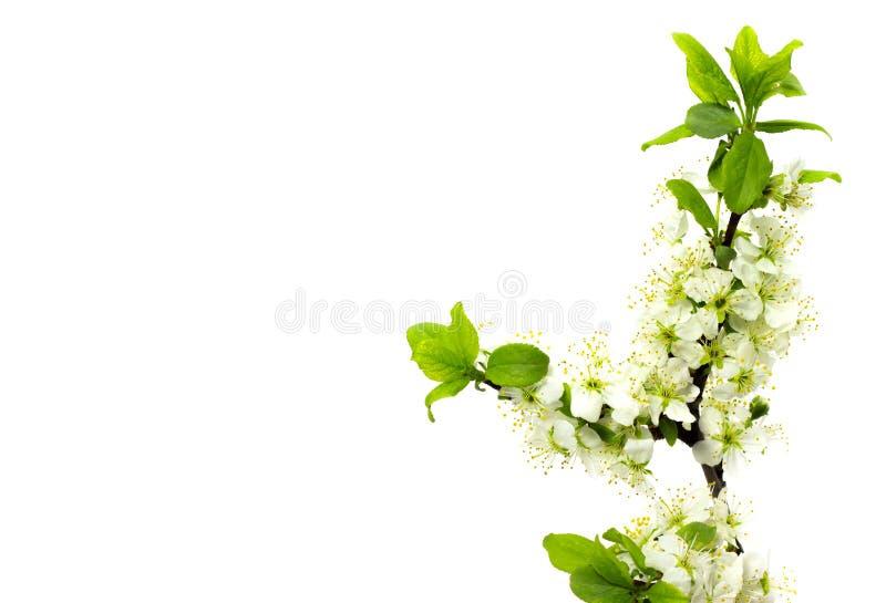 Ramas de florecimiento del ciruelo en un florecimiento blanco de la primavera del fondo de los árboles frutales imagenes de archivo