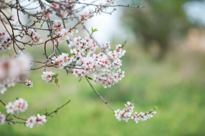 Ramas de la almendra rico floreciente en fondo de la hierba verde foto de archivo
