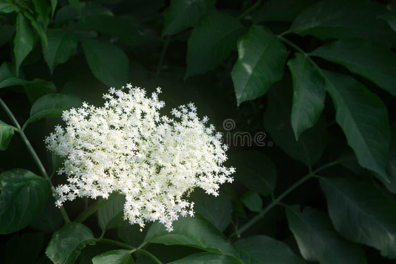 Ramas de la anciano floreciente en primavera o verano El Moldavia, junio de 2019 fotos de archivo libres de regalías