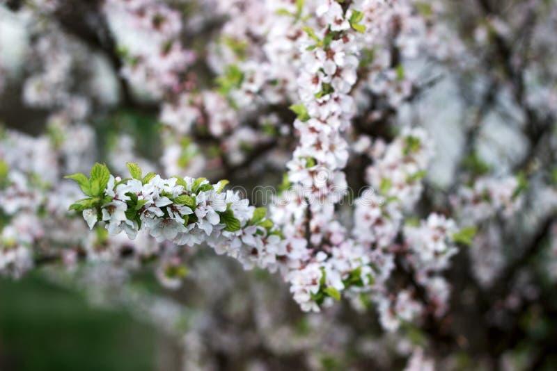 Ramas de la cereza salvaje floreciente, concepto de la primavera fotografía de archivo libre de regalías