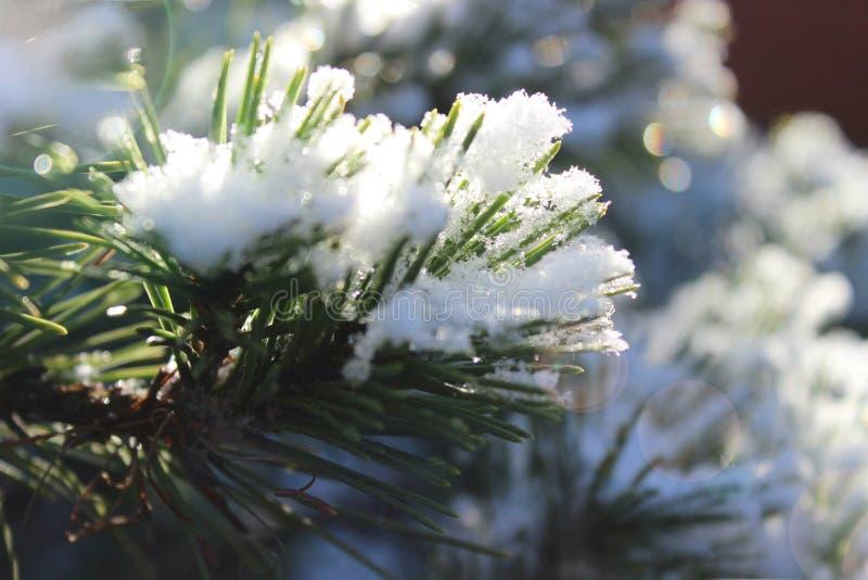 Ramas de la picea o del pino en la nieve fotos de archivo libres de regalías