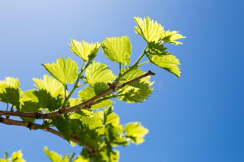 Ramas de la uva con las hojas jovenes del verde imagen de archivo