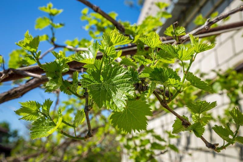 Ramas de la uva en un fondo del cielo azul imagenes de archivo