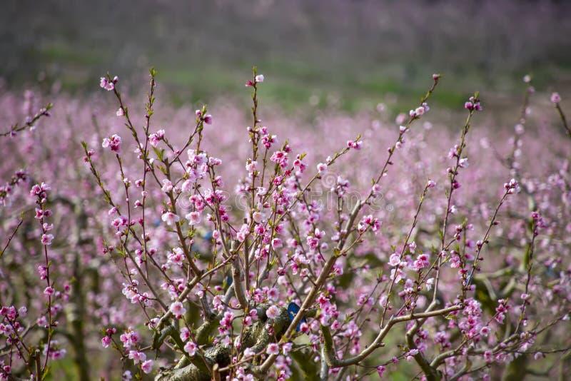 Ramas de los árboles de melocotón con las flores rosadas en un fondo borroso fotografía de archivo libre de regalías