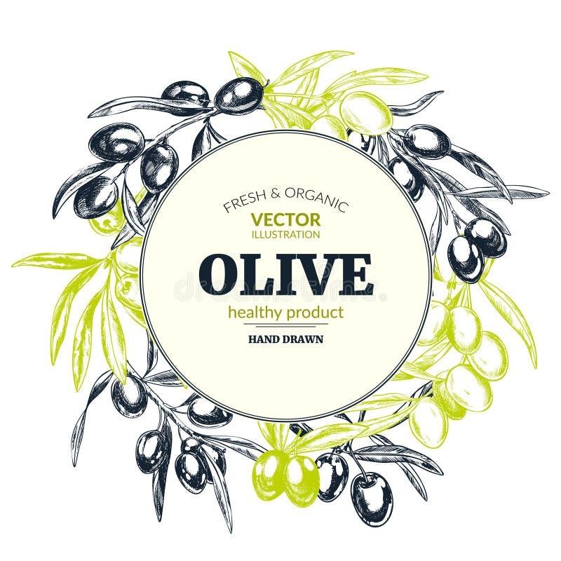 Ramas de olivo, ejemplos retros dibujados mano del vector del estilo ilustración del vector