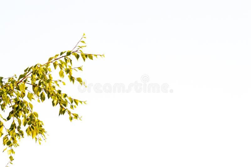 Ramas de un árbol de abedul con las hojas amarillas y verdes en un cielo blanco imágenes de archivo libres de regalías