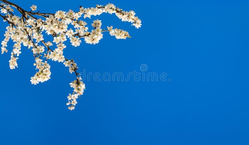 Ramas de un árbol de almendra floreciente en el fondo del cielo azul imagen de archivo