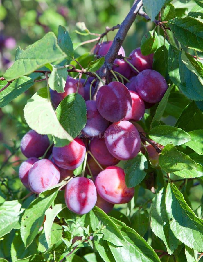 Ramas de un árbol de ciruelo con las frutas maduras imágenes de archivo libres de regalías