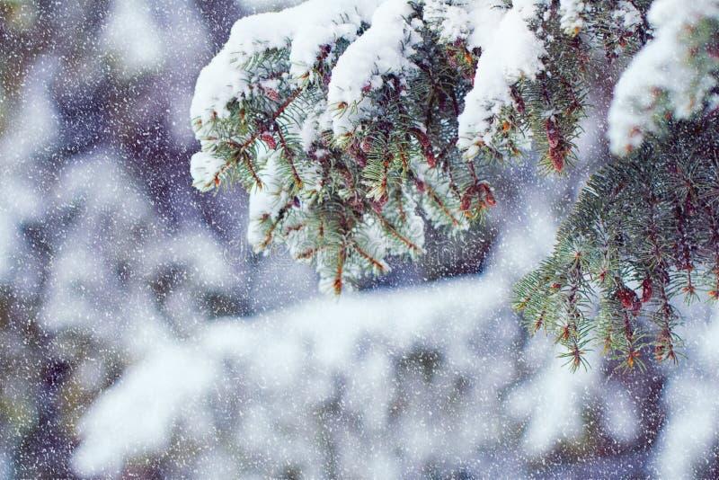 Ramas de un árbol de navidad cubierto con los wi naturales de la picea de la nieve imagenes de archivo