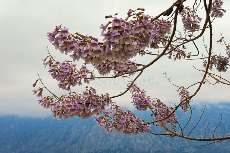 Ramas de un árbol del tomentosa del Paulownia en la floración en un día de primavera nublado imagen de archivo