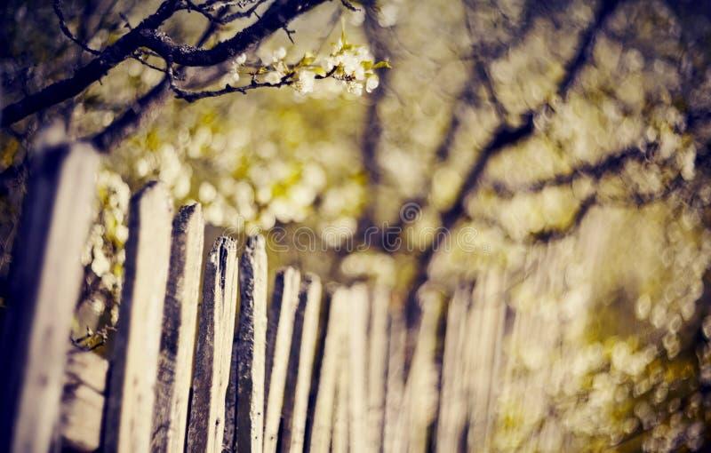 Ramas de un ?rbol de ciruelo floreciente detr?s de una cerca de madera vieja imagenes de archivo