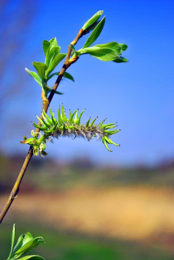Ramas de un sauce floreciente con las hojas verdes, el cielo azul y las colinas amarillas fondo, día de primavera fotografía de archivo libre de regalías