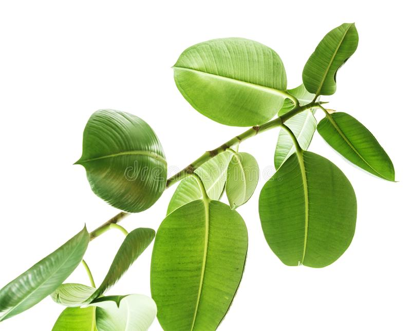 Ramas de una opinión inferior del árbol de goma sobre el fondo blanco, hojas verdes aisladas redondeadas grandes Elementos para l fotos de archivo