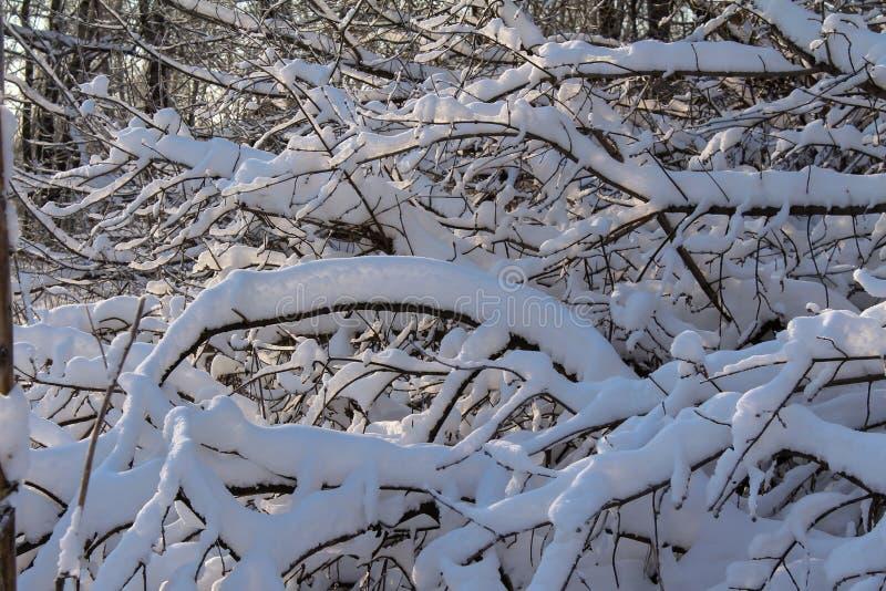 Ramas debajo de la nieve fotografía de archivo libre de regalías