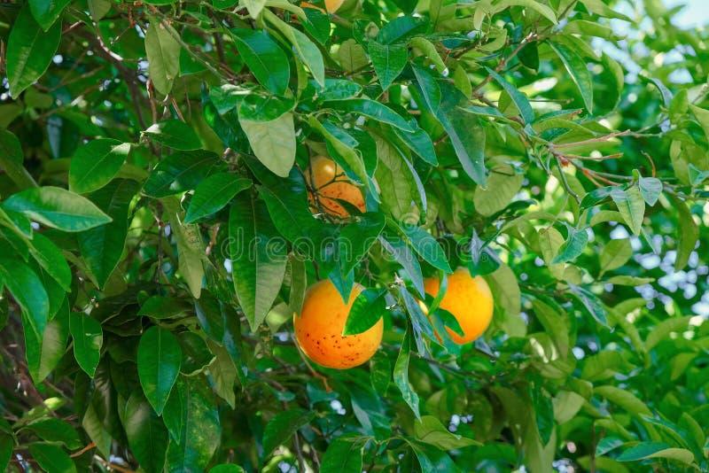 Ramas del árbol anaranjado con las frutas y las hojas verdes imagen de archivo libre de regalías