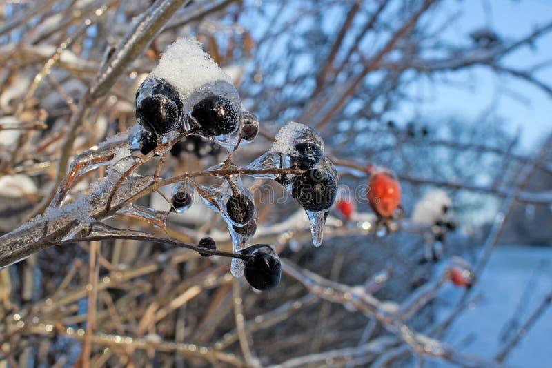 Ramas del árbol con las bayas negras después del aguanieve, de la corteza del hielo y de los carámbanos Empañado, fondo de la Nav foto de archivo