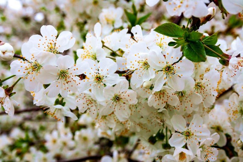 Ramas del árbol de la baya de la cereza durante el florecimiento con las flores fotos de archivo libres de regalías