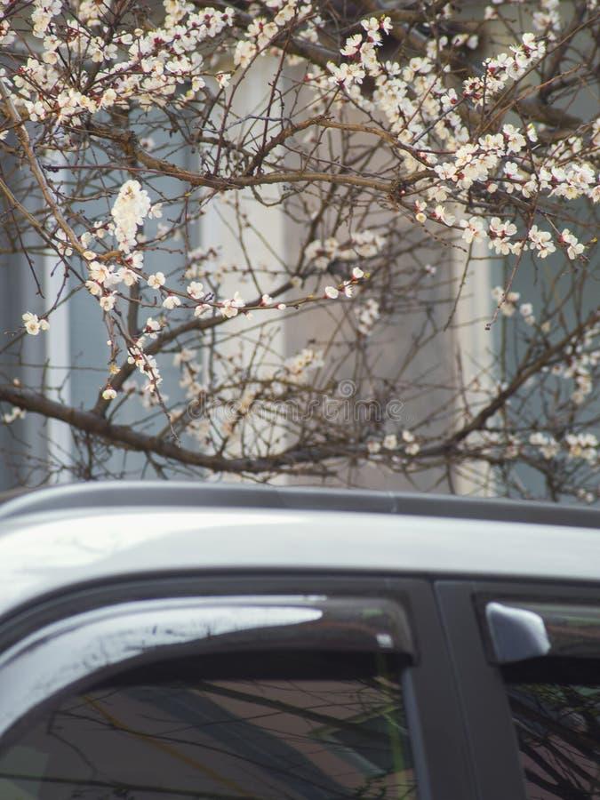Ramas del árbol frutal floreciente sobre el tejado del coche imagenes de archivo