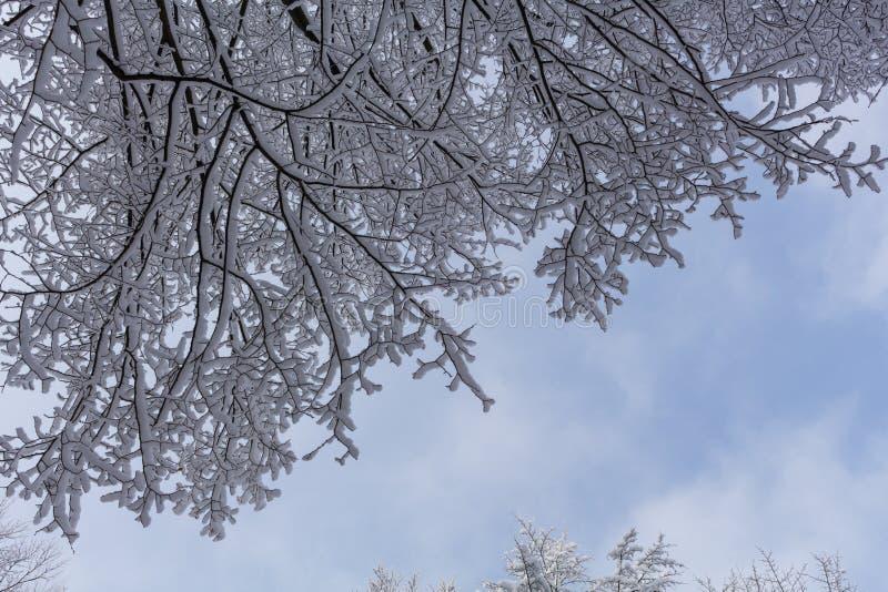 Ramas del árbol spruce con la nieve blanca Árboles spruce del invierno en el frostLayer de la nieve en ramas de la picea con esca imagen de archivo