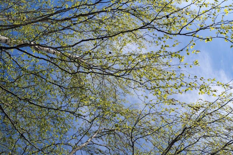 Ramas del abedul con follaje joven de la primavera fotos de archivo