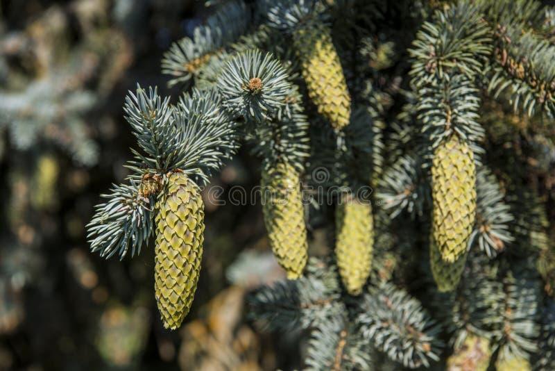 Ramas del abeto con los conos en fondo del cielo azul foto de archivo libre de regalías