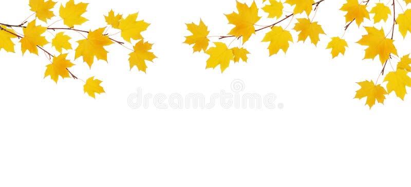 Ramas del arce del otoño con las hojas amarillas stock de ilustración