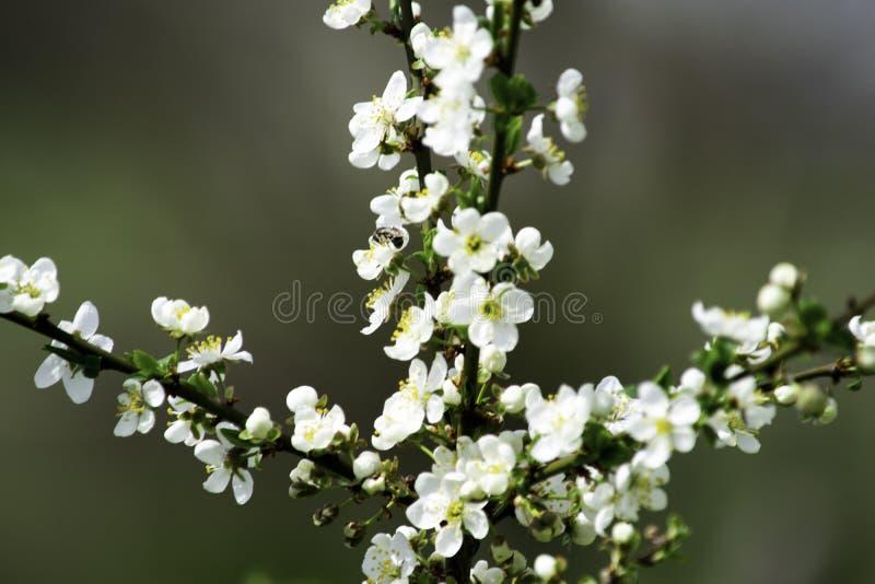 Ramas del ciruelo de cereza que florecen en un jardín en la primavera, fondo, contexto fotografía de archivo libre de regalías
