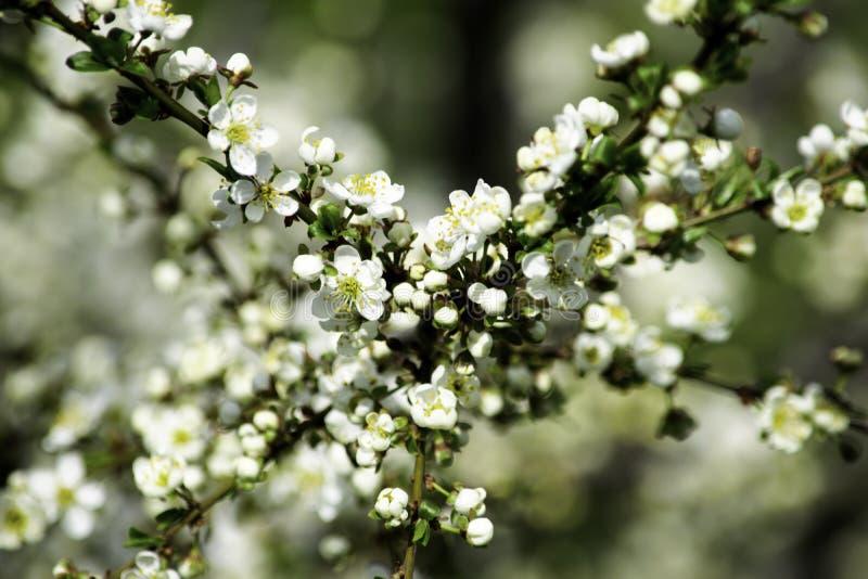 Ramas del ciruelo de cereza que florecen en un jardín en la primavera, fondo, contexto fotos de archivo libres de regalías