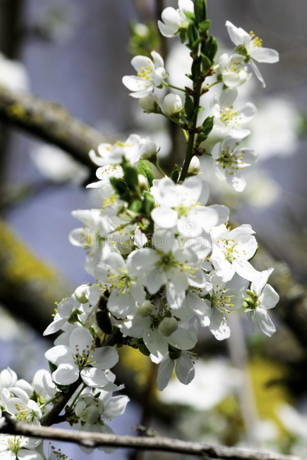 Ramas del ciruelo de cereza que florecen en un jardín en la primavera, fondo, contexto fotos de archivo