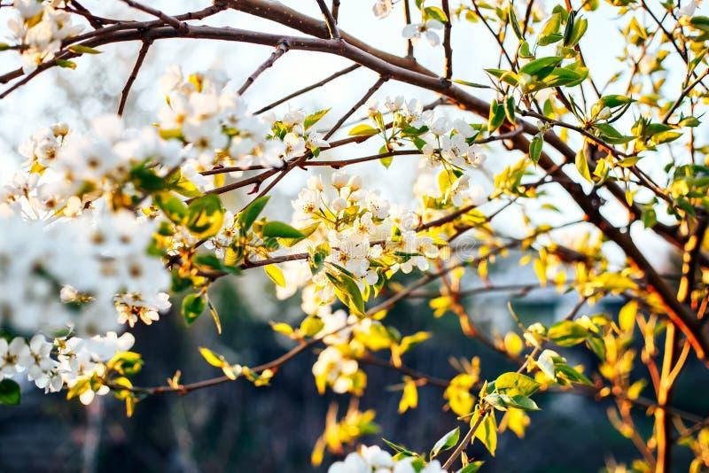 ramas del flor de la manzana contra puesta del sol imagenes de archivo