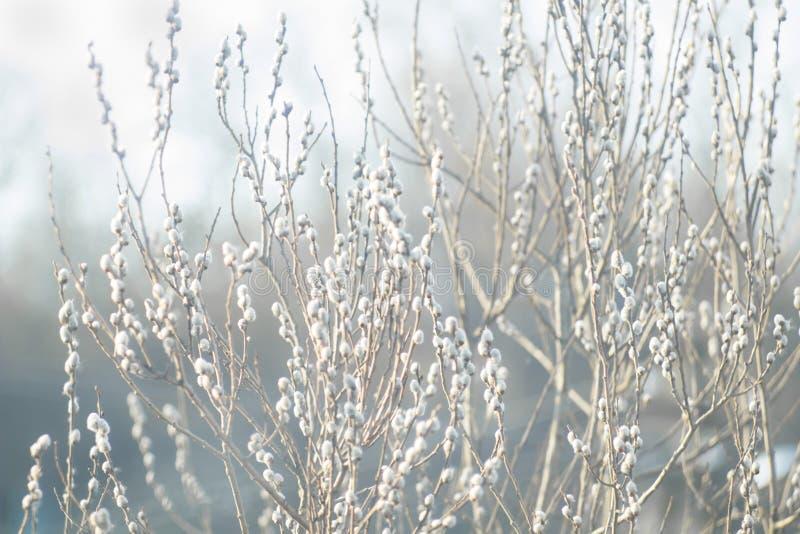 ramas del Gatito-sauce con los amentos, fondo de la primavera imagen de archivo