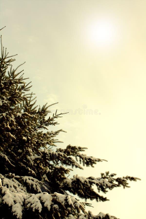 Ramas del invierno del árbol de pino azul cubierto con nieve mullida foto de archivo
