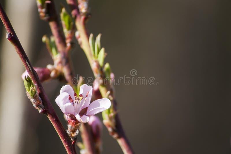 Ramas del melocotón con el flor rosado hermoso en luz del sol en fondo borroso imagenes de archivo